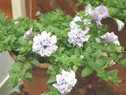 八重咲きの品種「ダブルペチュニア・ラベンダー」