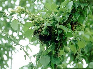 ニチニチソウはやや寒さに弱いので、定植は遅霜の恐れがなくなってから
