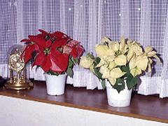 カランコエもポインセチアもクリスマスに家庭で楽しむ時は短日処理が必要