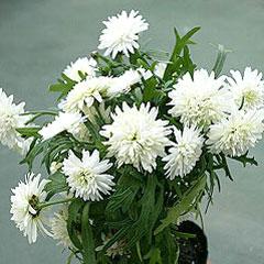 八重咲きマーガレット「エンジェリック・スノー」