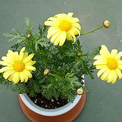 黄花マーガレット