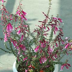 エパクリス・レクリナタの花