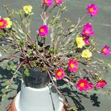 ポーチュラカは、5月中旬まで待ってから挿し芽する