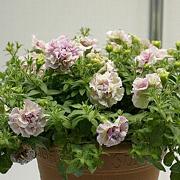 八重咲きのペチュニア「ドレスアップ・ピンクベイン」
