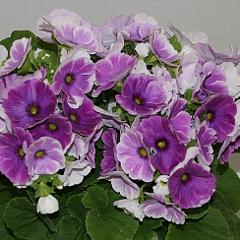 プリムラの中でも開花期の長いオブコニカ。花がら摘みと追肥を欠かさない