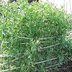 収穫の盛期のサヤエンドウ
