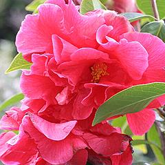 大輪で牡丹咲きのトウツバキ「ウイリアム・ハートリッチ」