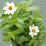 開花時期が長いジニア「プロフュージョン・ホワイト」