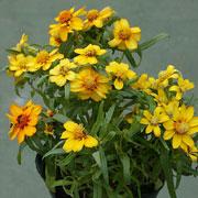小型で多花性のジニア・リネアリス