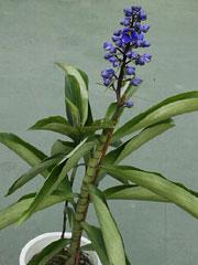 ディコリサンドラ・ティルシフロラは花を鑑賞するツユクサ科の宿根草