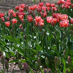 花壇植えのチューリップは株間を15cmほどとる