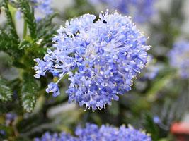セアノサスの花
