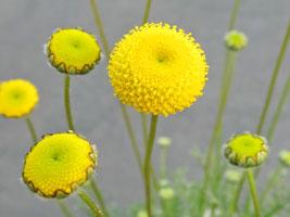 コツラ'花ほたる'の花
