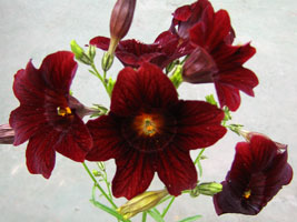 ▲サルピグロシスの花