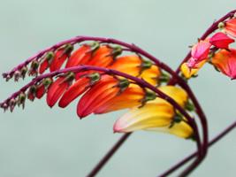▲ミナロバータの花