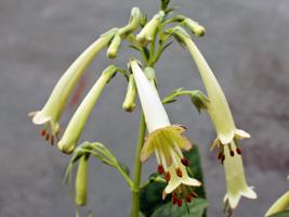 フィゲリウスの花