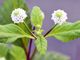 リッピアの花