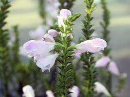 ユーコミスの花