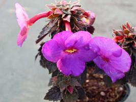 アキメネスの花