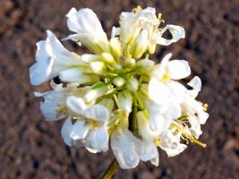 アラビス花