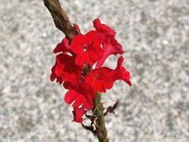 ナガホソウ花
