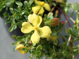 ヒベルティア花