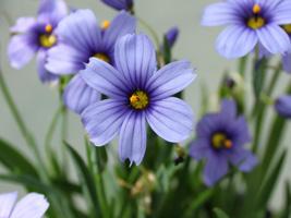 シシリンチウム花