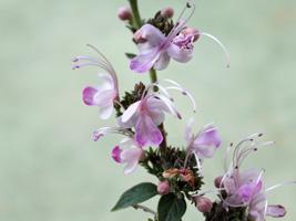 クレロデンドルム花