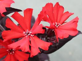 リクニス・ハーゲアナ花