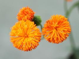 カカリア花