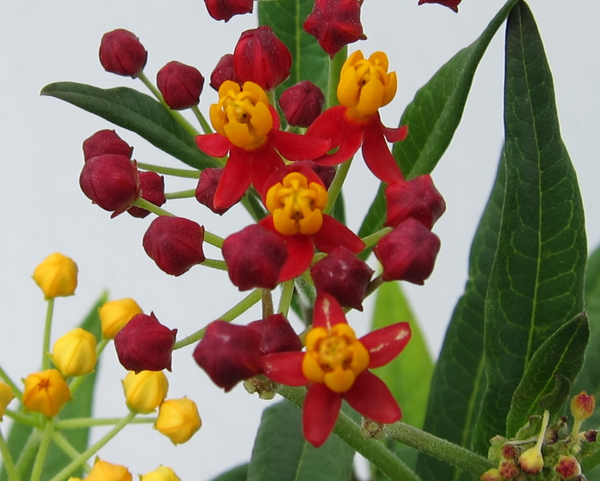 サルビア'パープルプリンス'花