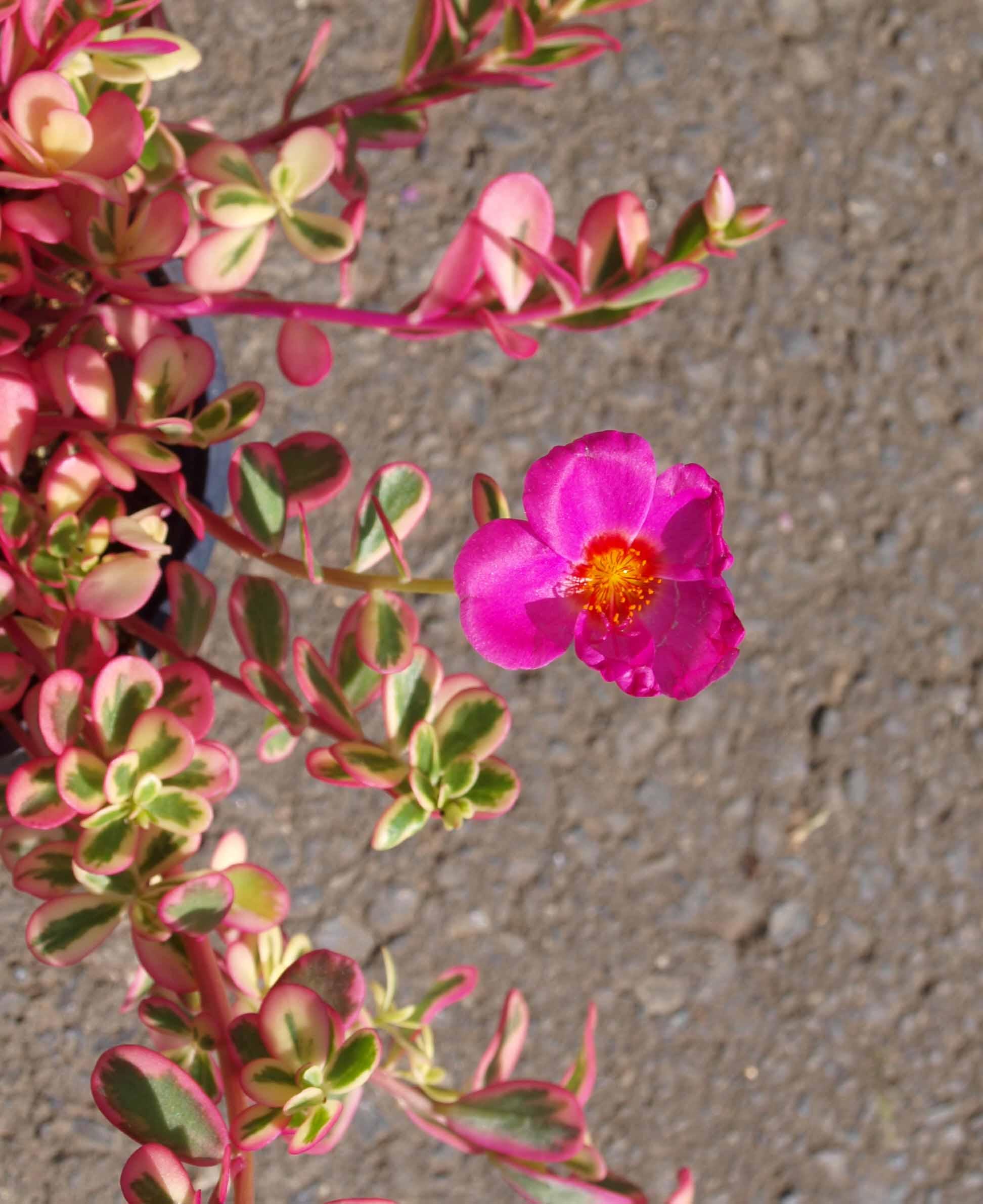 ポーチュラカ花