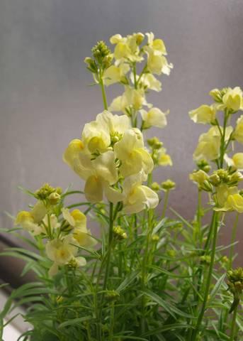 リナリア花