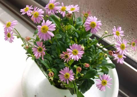 ブラキスコメ花