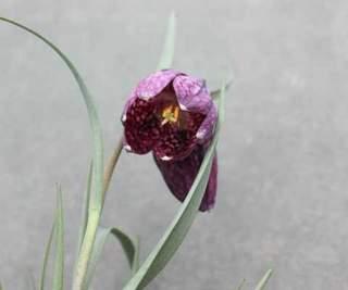 フリティラリア花