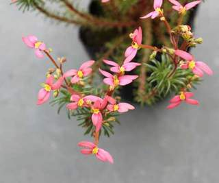 スティリディウム花