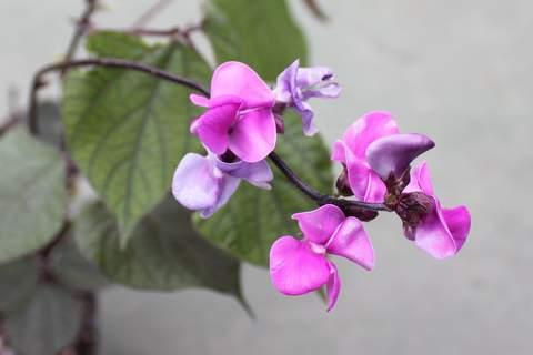 フジマメ花