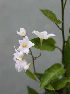 ツルハナナス花