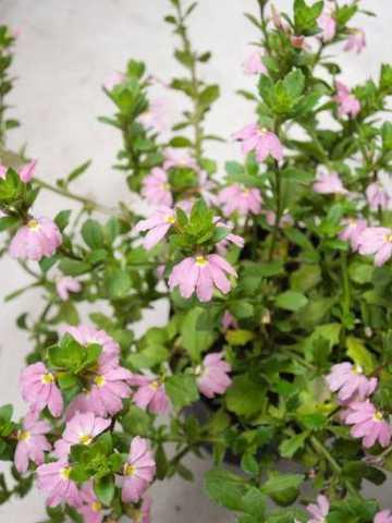 スカエボラ花