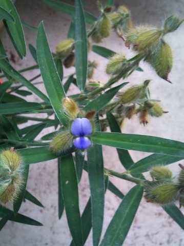 タヌキマメ花