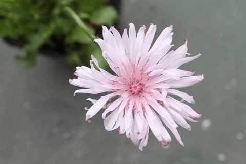 クレピス花