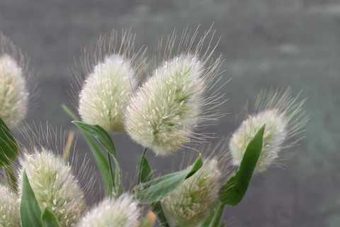 ラグルス花