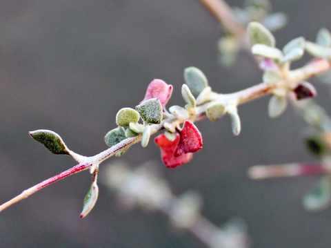ホワイトソルトブッシュ葉