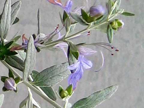 ツリージャーマンダーの花