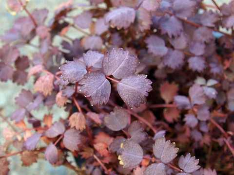 アカエナの葉
