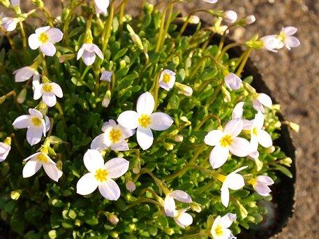 ヒナソウの花