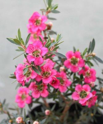 ギョリュウバイ花
