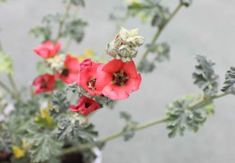 スファエラルケア花