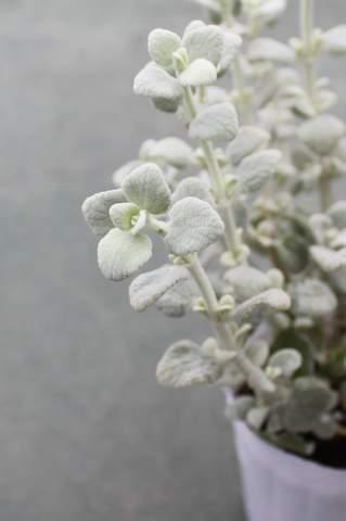 バロータ花