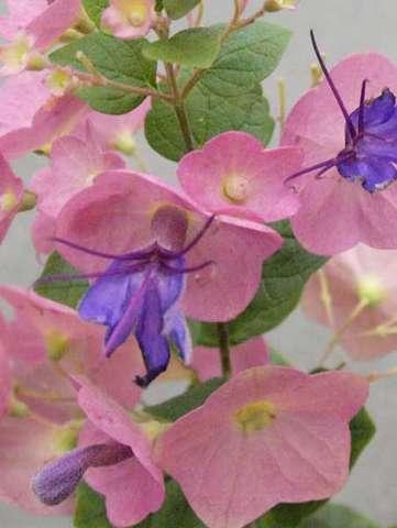 ホルムショルディアの花